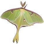 Super Green Moth