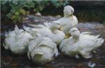 Flock of White Ducks