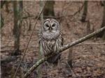 Barreled Owl