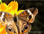 Original Butterfly Photos & Gifts