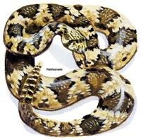 Rattlesnake Snake