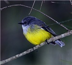 Yellow Robin