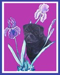 Black Chinese Pug