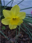 Smiling Daffodil