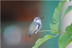 Hummingbird named Daphne