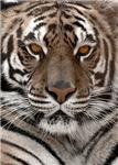 Pale Tiger