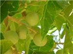 Kukui Tree with Nuts