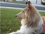 Collie Profile