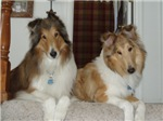 Rescued Collie Buds