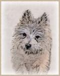 Cairn Terrier-Multiple Illustrations