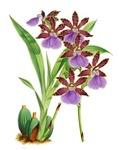 Zygopetalum-clayi Purple Orchid