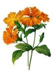 Lynchis Grandiflora  by Pierre Joseph Redoute