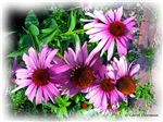 Cosmos and Echinacea Flowers