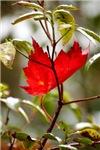 Cradled Leaf