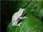treefrog III