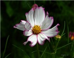 .bicolor cosmos. II
