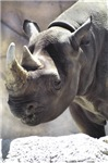 Quiet Rhino