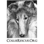 Collie Portrait