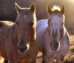 Palomino and Appy