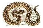 Pitviper snake