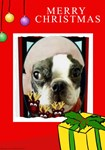 BOSTON TERRIER XMAS LOOK