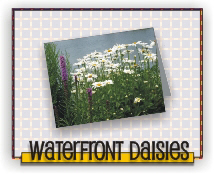 Waterfront Daisies