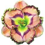 Lavender Pink Daylily