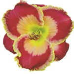 Red w/ Gold Edge Daylily