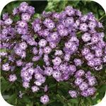 Phlox Lilac Edge