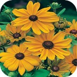 Rudbeckia - Black Eye Susan