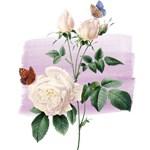 Vintage White Roses