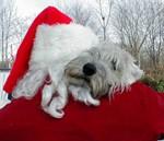 Wheatens Love Santa