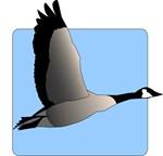 Soaring Canada Goose © Rosemary Amey.