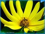 Flower, photo, yellow flower