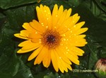 Wet, yellow flower