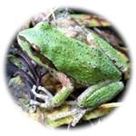 Pacific Chorus Frog Treefrog