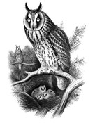Long-eared Owl Sketch