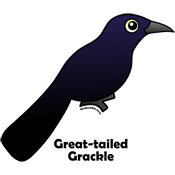 Birdorable Great-tailed Grackle