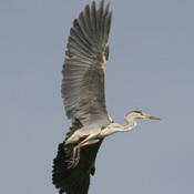 Grey Heron Taking Flight