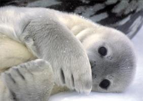 Seal Pup - Antarctica