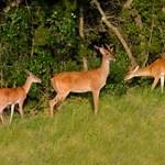White Tail Deer Treeline