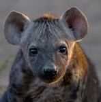 Wild Dog and Hyena