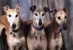 Greyhounds Three