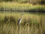 OCTOBER BLUE HERON