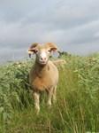 Horned ewe in field