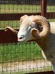 Horned Ram front