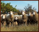 Polled Dorset Ewes