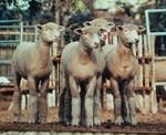 Fall Lamb Quartet