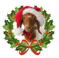 Baby Boer Goat in Santa Hat