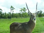 WATERBUCK OF CENTRAL AFRICA